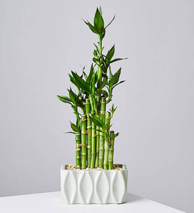 High Rise Lucky Bamboo Plant