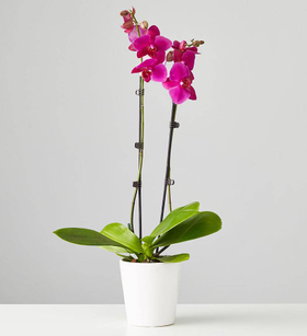 Large Phalaenopsis Orchid: Purple