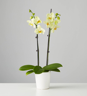 Large Phaleanopsis Orchid: Yellow