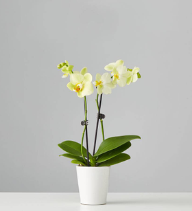 Small Phalaenopsis Orchid: Yellow