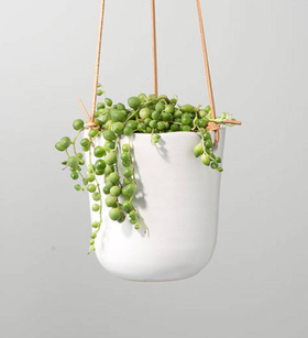 String of Pearls Hanging Succulent Plant