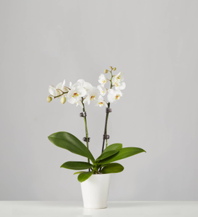 Small Phalaenopsis Orchid: White