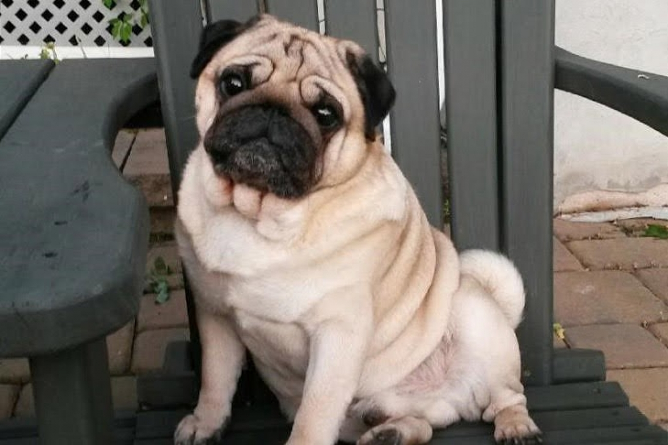 Pug Dog Breed Information
