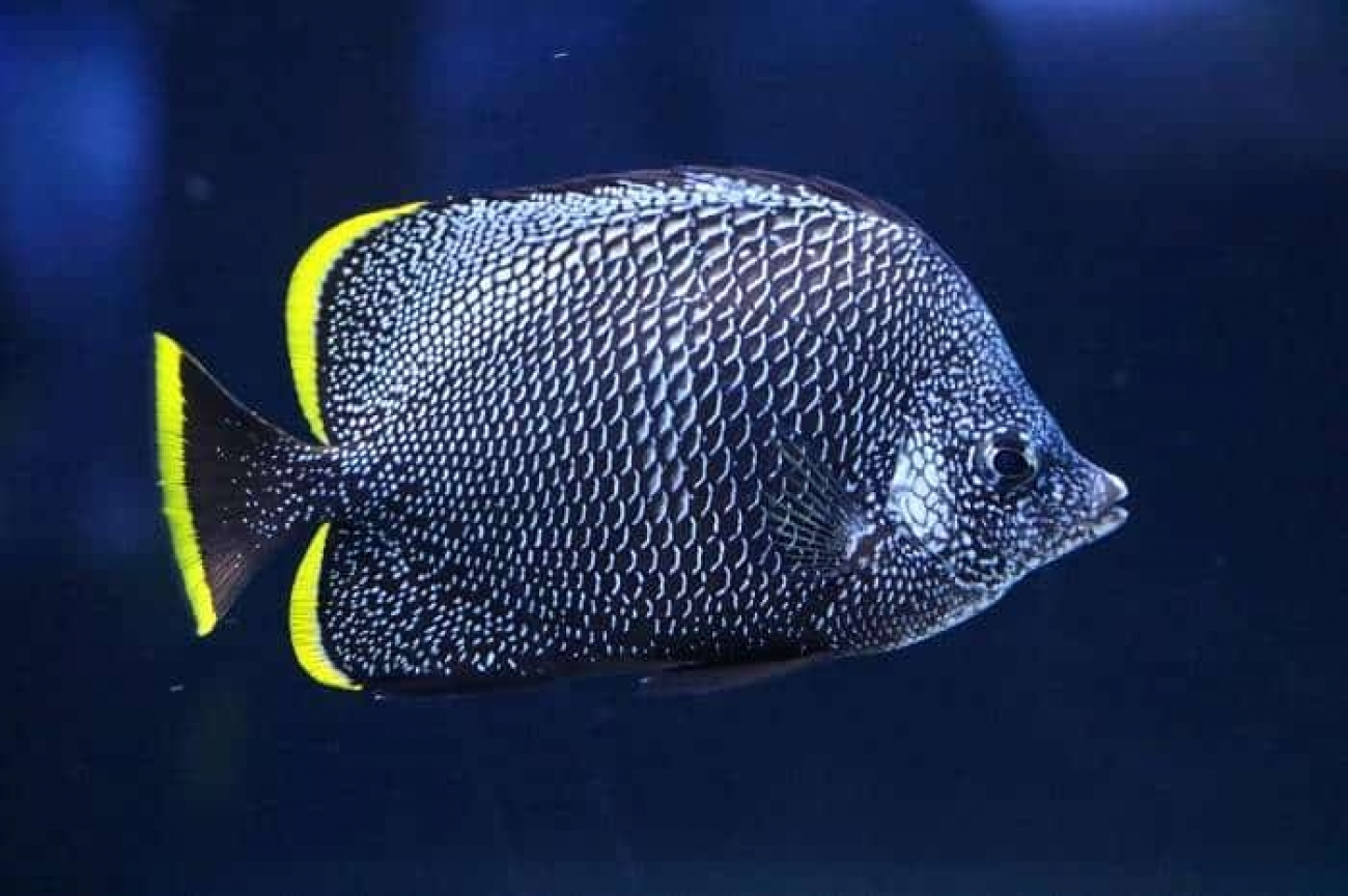 Jenis Ikan Hias termahal  wrought iron butterflyfish
