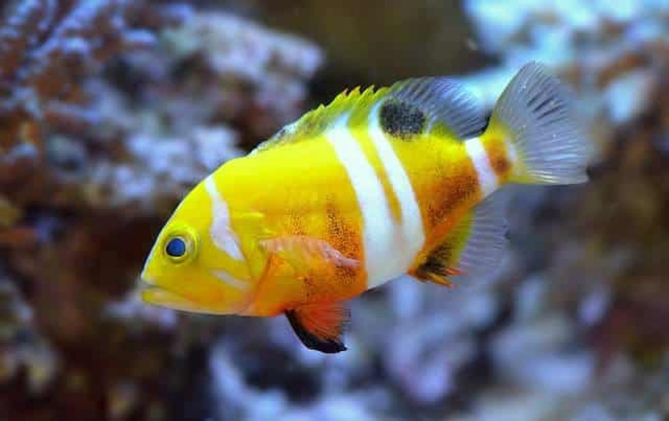 Jenis Ikan Hias termahal  neptune grouper