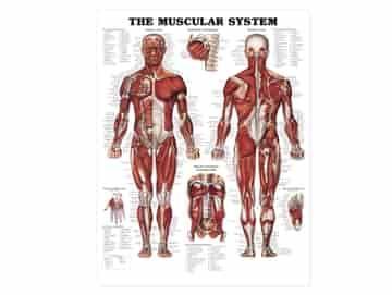 Anatomisk Affisch, Muskelsystemet, 50 x 65 cm.