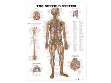 Anatomisk Affisch, Nervsystemet, 50 x 65 cm. Medicinetisk affisch till för vägg dekoration i väntrum, på vårdcentral i mottagningsrum eller i skolor.