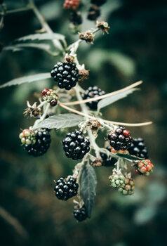 Umělecká fotografie Blackberries