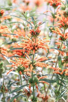 Orange flowers Fototapet