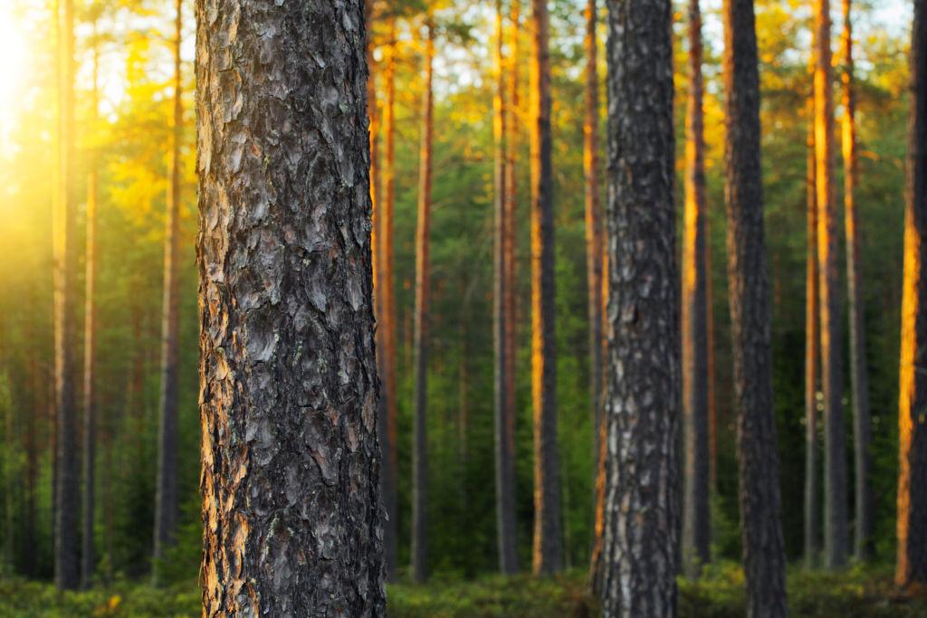 Kellertävä metsä