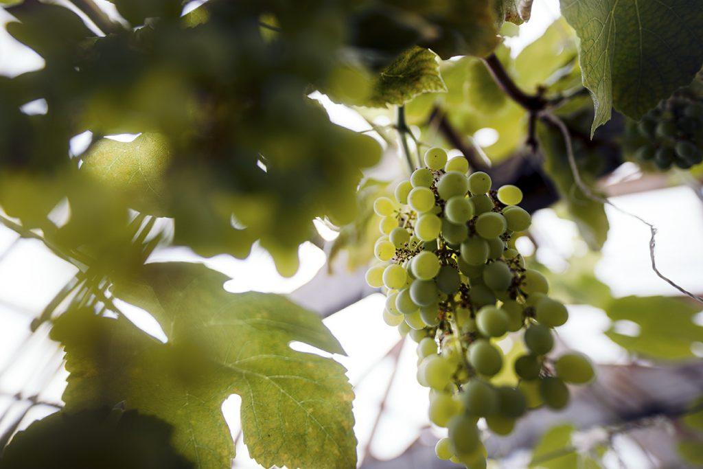Viiniköynnös kasvihuoneessa