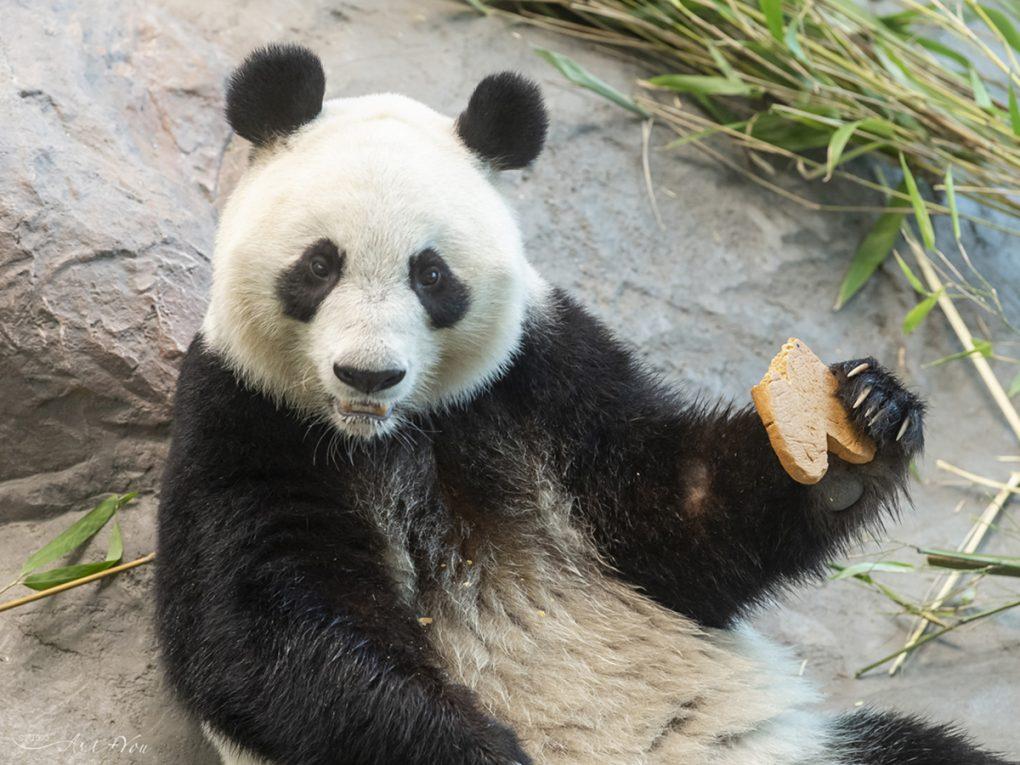 Ähtärin eläinpuisto panda