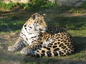 Jaguar in the Zoo of Opole, Poland