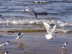 Seagulls on the beaches of Swinoujscie