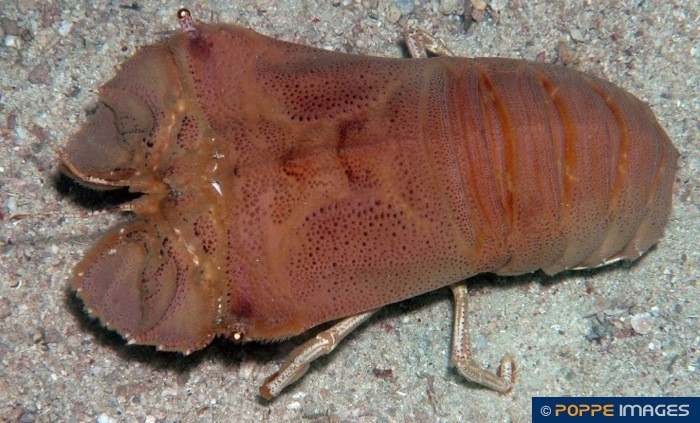 Lobsters | SCYLLARIDAE | Thenus orientalis | Marine Iconography of the Philippine Archipelago ...