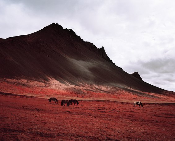 red field with Icelandic ponies against the backdrop of a rocky black mountain and cloudy sky