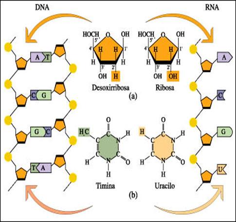 acidos_nucleicos_13.jpg (485×457)