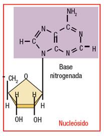 acidos_nucleicos_5.jpg (207×270)