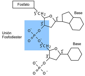 acidos_nucleicos_6.jpg (337×300)