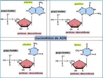 acidos_nucleicos_7.jpg (351×268)
