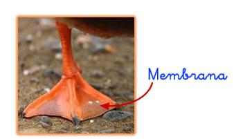 membrana