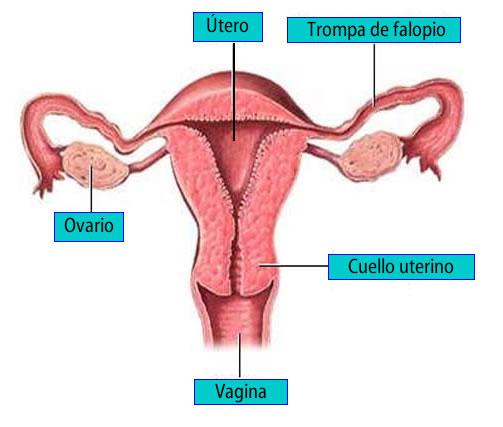 Aparato femenino