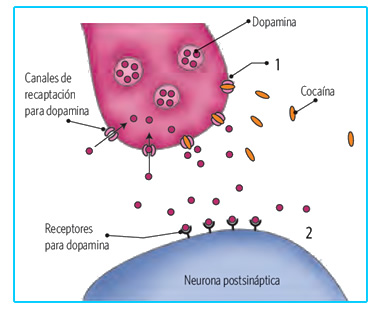 drogas_sistema_nervioso_5.jpg (376×310)
