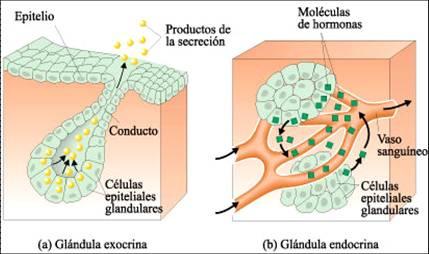 glandula_exocrina_endocrina.jpg (429×254)
