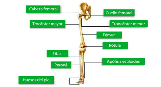 Huesos de las extremidades inferiores
