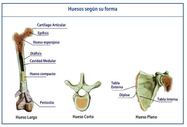huesos según su forma