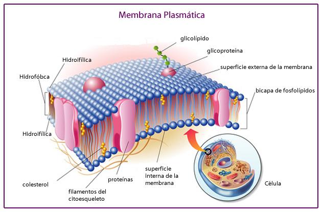 membrana_plasmatica_1.jpg (630×415)