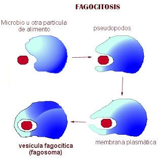 membrana_plasmatica_5.jpg (320×318)
