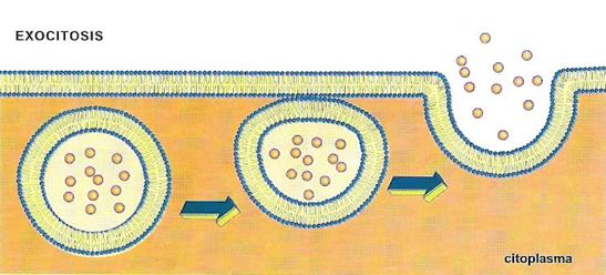 membrana_plasmatica_6.jpg (547×248)