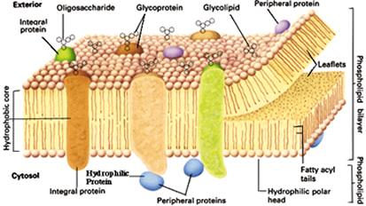 membrana_plasmatica_mosaico_fluido.jpg (413×232)