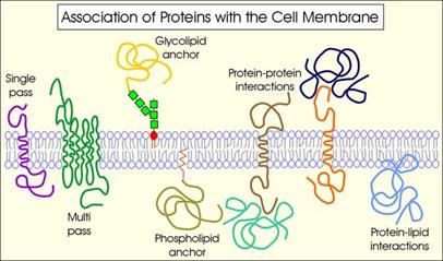 membrana_plasmatica_proteinas.jpg (406×239)