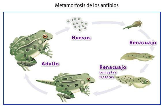 Característica de los anfibios