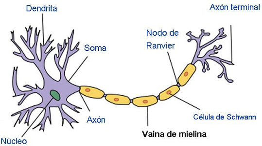 Células Del Tejido Nervioso