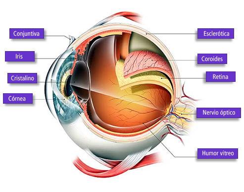 ojo - La vista