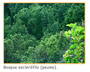 relieve_chileno_bosque_peumo
