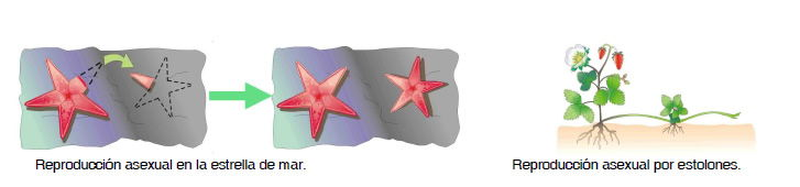 reproducción estrella de mar
