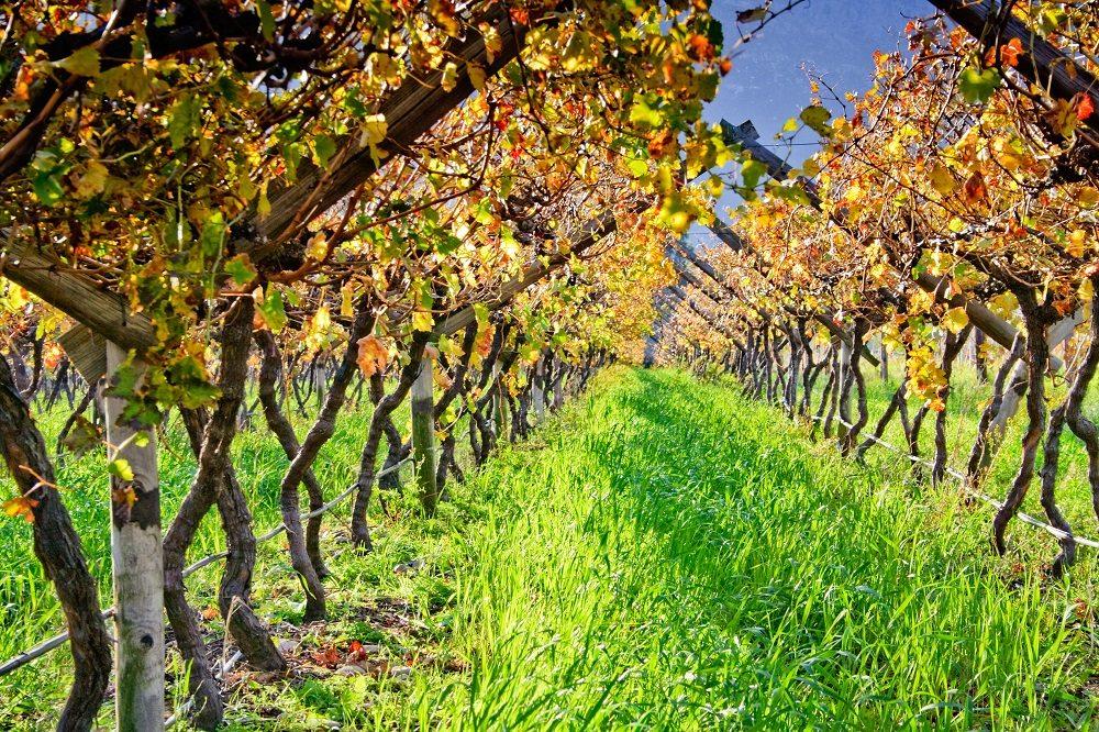 Chile: Descartan impacto severo de lluvias veraniegas en producción de uvas