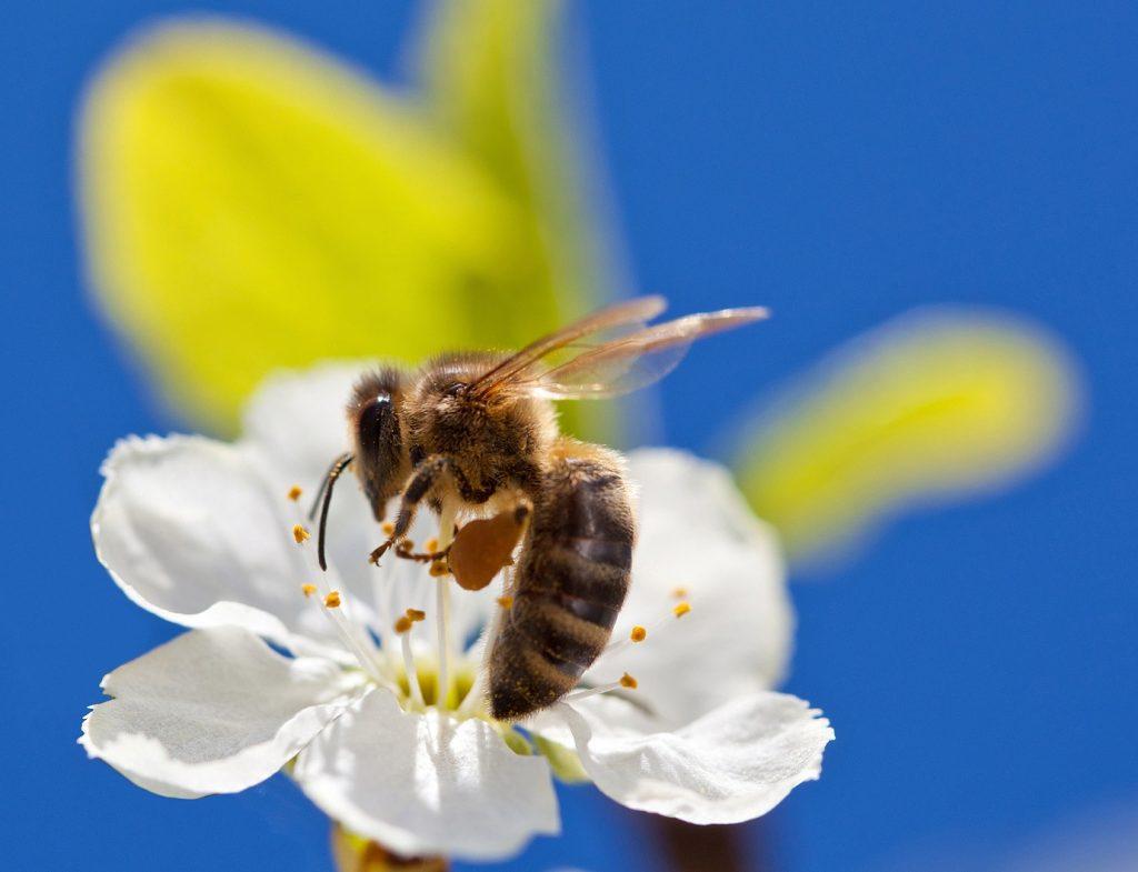 Investigación demostró que las abejas melíferas prefieren los campos de fresas