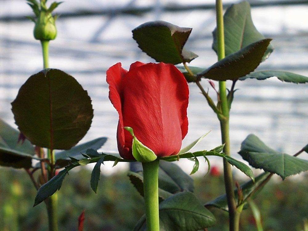 Manual completo para cultivar rosas. Incluye PDF -