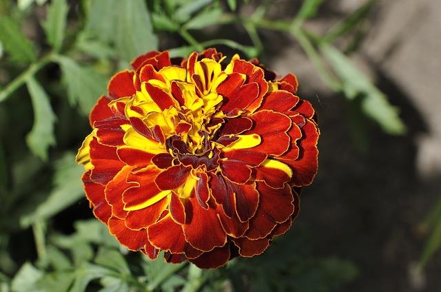 carnation-796320_640