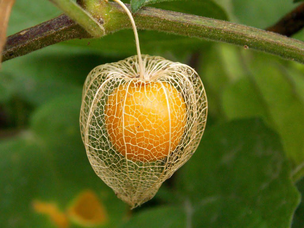 Manual de producción del cultivo de Physalis peruviana (goldenberry, aguaymanto, uchuva).