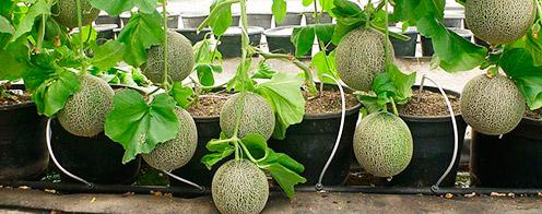 cultivar sandías y melones