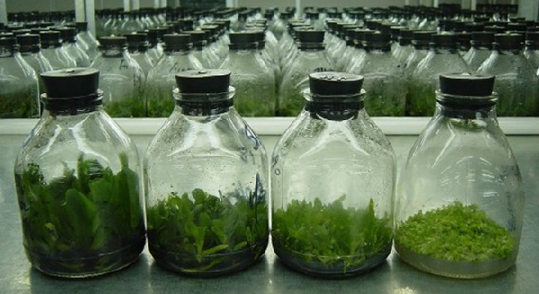 micropropagated-phalaenopsis-orchids