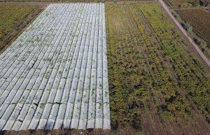 Los experimentos han demostrado un marcado contraste de rendimiento entre los huertos de Kiwi Gold a cielo abierto y cubierto.