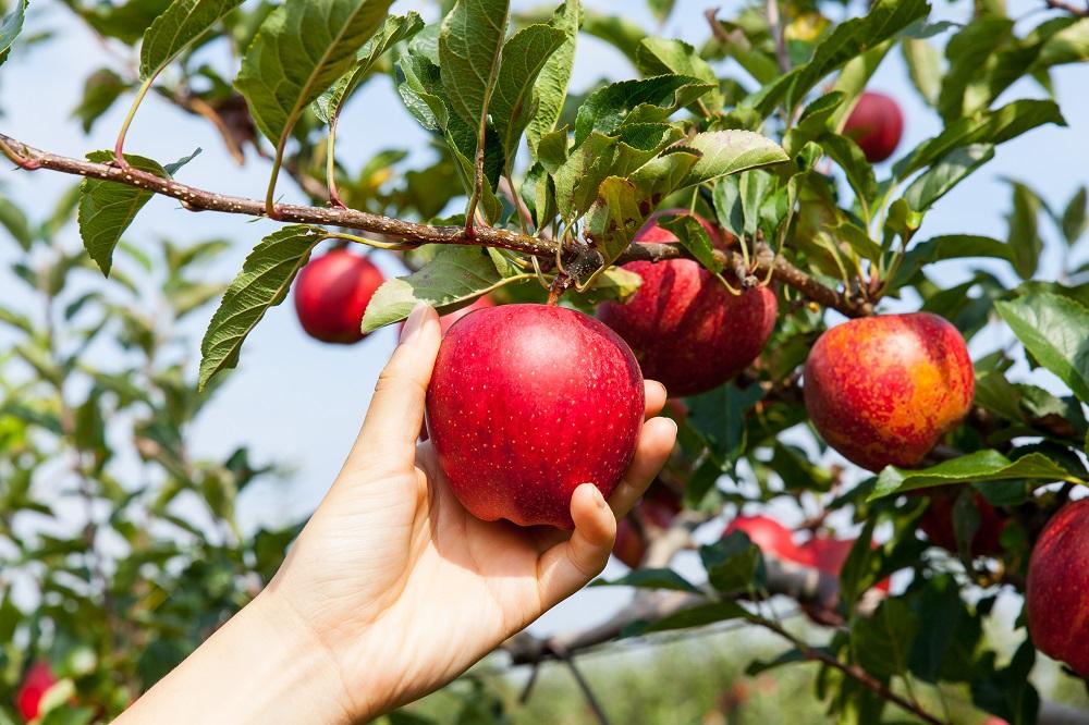Start-up de California desarrolla cosechadora autónoma de manzanas