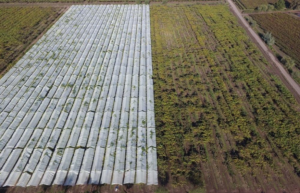 Chile: Resultados demuestran la eficacia de cobertores plásticos para el kiwi amarillo